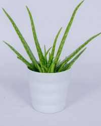 Aloë Vera kamerplant - In witte bloempot - ± 40cm hoog