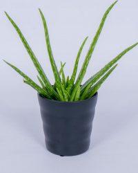 Aloë Vera kamerplant - In zwarte bloempot - ± 40cm hoog