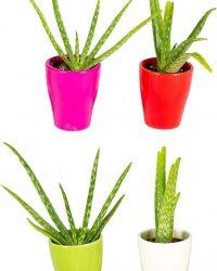 Aloe vera | Per 4 stuks - Kamerplant in keramiek ⌀5.5 cm - ↕20 cm
