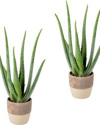 Aloe vera | per 2 stuks - kamerplant in lichtgrijze keramieke pot ⌀12 cm - ↕35 cm