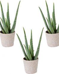 Aloe vera | per 3 stuks - kamerplant in kemarieke pot ⌀10,5 cm - ↕25 cm