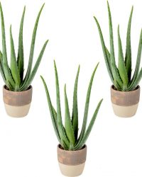 Aloe vera   per 3 stuks - kamerplant in lichtgrijze keramieke pot ⌀12 cm - ↕35 cm