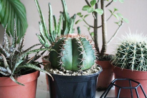 Cactus interieur complete deal pot Ø12cm cactus en vetplant mix