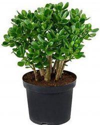 Crassula Horntree Bush Large