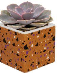 Echeveria Pearl of Neurenberg in Oranje pot - geen groene vingers nodig