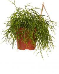 Kamerplant van Botanicly - Rotskoraal - Hoogte: 20 cm - Rhipsalis cashero
