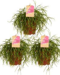 Kamerplanten van Botanicly - 3 × Rotskoraal - Hoogte: 20 cm - Rhipsalis cashero