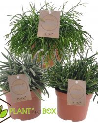Plant in a Box - Set van 3 verschillende Rhipsalis- Pot ⌀ 12cm - Hoogte ↕ 15-20 cm
