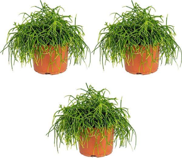 Rhipsalis 'Baccifera oasis' | Koraalcactus per 3 stuks - Kamerplant in kwekerspot ⌀12 cm - ↕20 cm