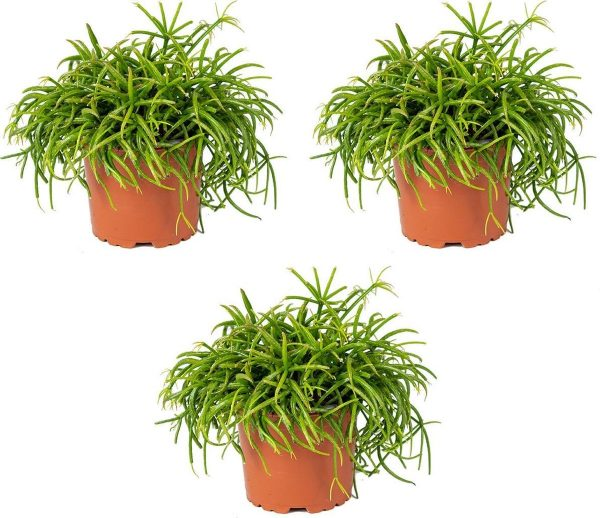 Rhipsalis 'Baccifera oasis' | koraalcactus per 3 stuks - kamerplant in kwekers pot ⌀10,5 cm - ↕18 cm