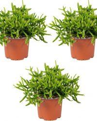 Rhipsalis 'Heteroclada' | koraalcactus per 3 stuks - kamerplant in kwekers pot ⌀10,5 cm - ↕18 cm