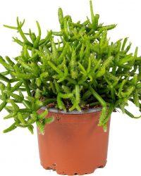 Rhipsalis 'Heteroclada' | koraalcactus per stuk - kamerplant in kwekers pot ⌀10,5 cm - ↕18 cm