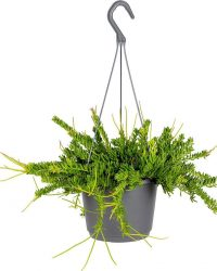 Rhipsalis 'Mesembryanthemoides' | Koraalcactus in hangpot per stuk - Kamerplant ⌀17 cm - ↕20 cm