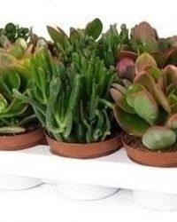 Succulent Crassula mix 10cm↑ Ø8,5cm - 3 stuks