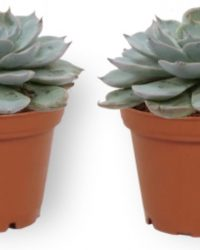 2x Kamerplant Echeveria Blue Bird - 10cm hoog - 7cm diameter