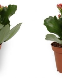 2x Kamerplant Kalanchoë Perfecta - met rode bloemen - ± 10cm hoog - 7cm diameter
