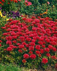 3x Sedum Spurium 'Schorbuser Blut' - Rode muurpeper - ↑ 15cm - Ø 7cm