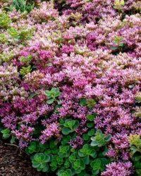 6x Vetkruid (Sedum spurium 'Splendens') - P9 pot (9x9)
