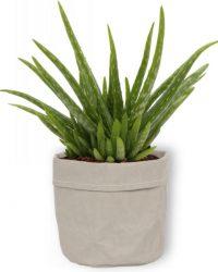 Aloe Vera Kamerplant - ± 30cm hoog - 12cm diameter - in grijze sierzak