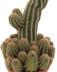 Cactus met bloemen | Cactus met mooie extra vertakkingen en krijgt bloemen | Pindacactus | Makkelijk te onderhouden | Heeft weinig water nodig | Cactus decoratie Ø 11 cm - Hoogte 25 cm (waarvan +/- 15 cm plant en 10 cm pot) | Kamerplant