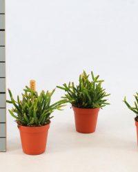 Cactus van Botanicly - Rotskoraal - Hoogte: 10 cm - Rhipsalis Heteroclada