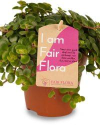 Duurzaam geproduceerde Kamerplant van FAIR FLORA® - 1 x Vetkruid - Hoogte: ca. 12 cm - Latijnse naam: Sedum Makinoi