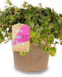 Duurzaam geproduceerde Kamerplant van FAIR FLORA® - 1 x Vetkruid in de grijze keramische pot - Hoogte: ca. 12 cm - Latijnse naam: Sedum Makinoi