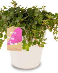 Duurzaam geproduceerde Kamerplant van FAIR FLORA® - 1 x Vetkruid in de witte keramiek sierpot - Hoogte: ca. 12 cm - Latijnse naam: Sedum Makinoi