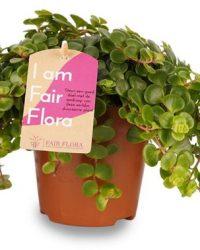 Duurzaam geproduceerde Kamerplant van FAIR FLORA® - 3 x Vetkruid - Hoogte: ca. 12 cm - Latijnse naam: Sedum Makinoi