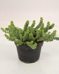 Kamerplant van Botanicly - Jadeplant - Hoogte: 20 cm - Crassula Minor Canarias