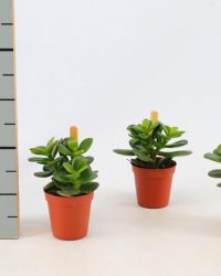 Kamerplant van Botanicly - Kalanchoe - Hoogte: 10 cm