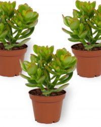 Set van 3 Kamerplanten - Crassula Money Tree- ± 10cm hoog - 7cm diameter