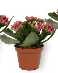 Set van 3 Kamerplanten - Kalanchoë Perfecta - met paarse bloemen - ± 12cm hoog - 7cm diameter