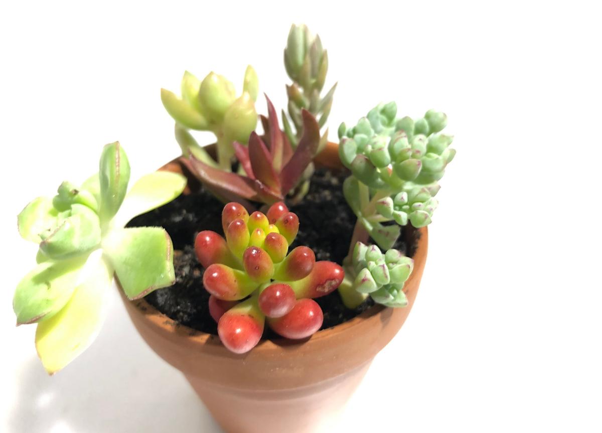 gestekte vetplantjes in de pot