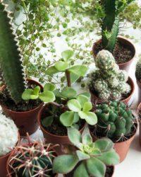 mini cactus en vetplanten mix pot Ø5,5cm 10 stuks