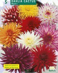 2 stuks Zomer Bloembollen Dahlia Cactus Mixed per 3