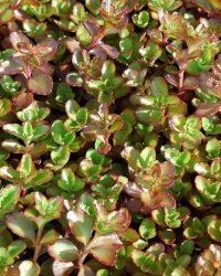 3 stuks Sedum spurium Fuldaglut Samplant
