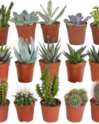 Cactus en vetplanten mix | 15 stuks | Ø 5,5 cm | ↕ 8-13 cm
