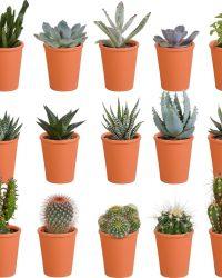 Cactus en vetplanten mix in terracotta pot | 15 stuks | Ø 6,5 cm | ↕ 8-13 cm
