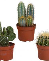 Cactus mix | 3 stuks | Ø 10,5 cm | ↕ 17-23 cm