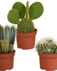 Cactus mix | 3 stuks | Ø 12 cm | ↕ 18 - 27 cm