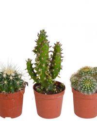 Cactus mix | 5 stuks | Ø 5,5 cm | ↕ 8-13 cm