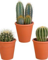 Cactus mix in terracotta pot | 3 stuks | Ø 11 cm | ↕ 13-18 cm