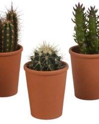 Cactus mix in terracotta pot | 5 stuks | Ø 6,5 cm | ↕ 8-13 cm