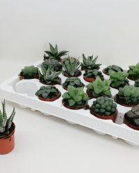 Cactus van Botanicly - Haworthia - Hoogte: 10 cm