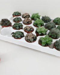 Cactus van Botanicly - Haworthia - Hoogte: 6 cm