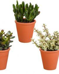Crassula mix in terracotta pot | 3 stuks | Ø 11 cm | ↕ 13-18 cm