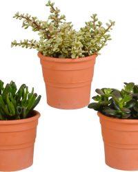 Crassula mix in terracotta pot   3 stuks   Ø 13 cm   ↕ 16-21 cm