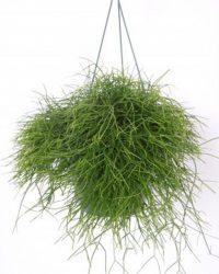 Rhipsalis hangplant in 17cm hangpot Decoratieve plant leuk voor huiskamer of kantoor