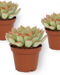 Set van 3 Vetplanten - Echeveria Pelusida - ± 10cm hoog - 7cm diameter